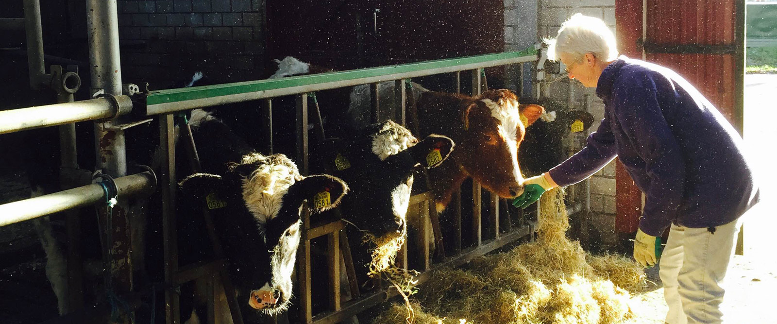 header-koeien